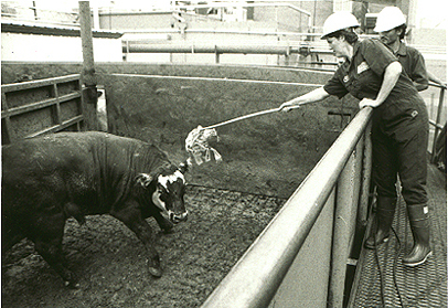 Safe Handling Of Large Animals Cattle And Horses