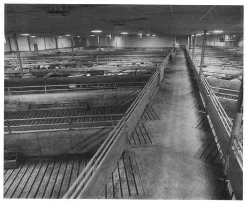Design Of Loading Facilities And Holding Pens